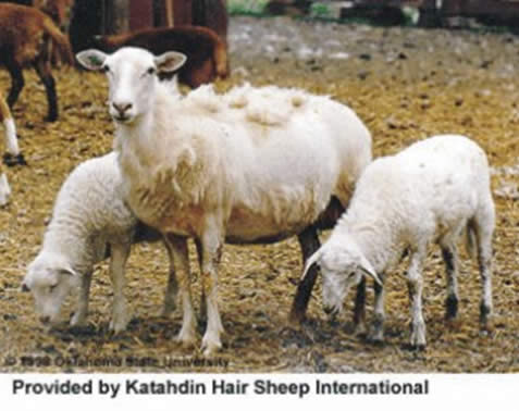 About the Katahdin Breed Rack of Lamb Corral