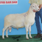 """Diesel"" 2012 Grand Champion Ram"