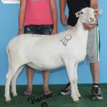 """""""Hemi"""" 2012 Grand Champion Ewe"""