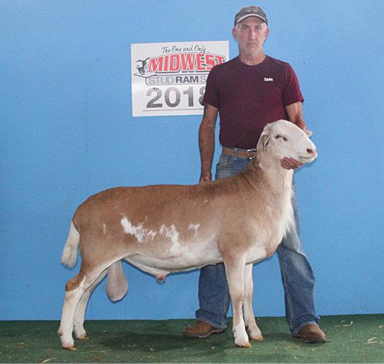Semen For Sale Rack of Lamb Corral